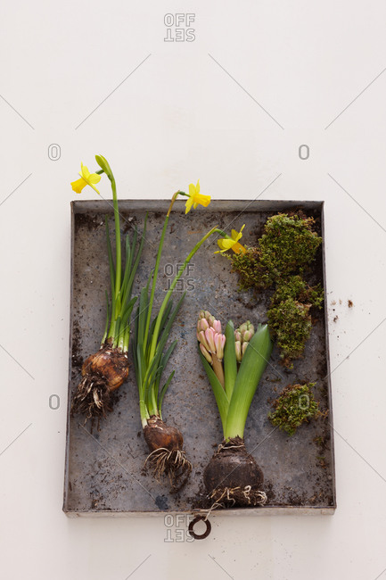 Top view of narcissus and hyacinth bulbs