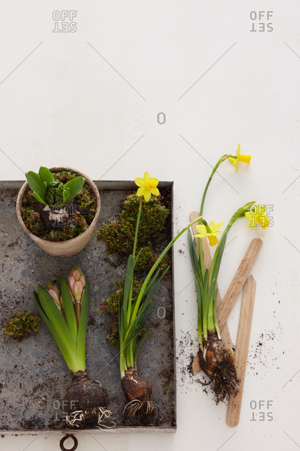 Close-up of narcissus and hyacinth bulbs