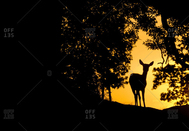 Silhouette of a deer at the edge of the woods