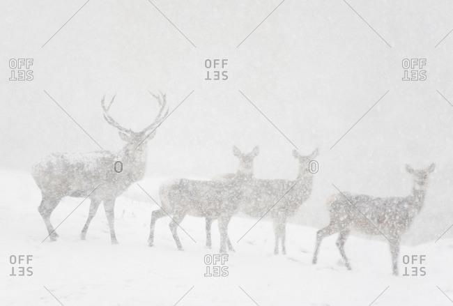 A family of deer in a blizzard