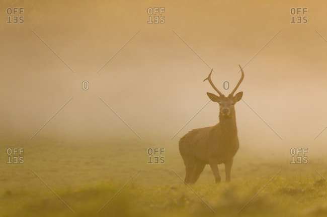 A young stag in a standing in a misty field