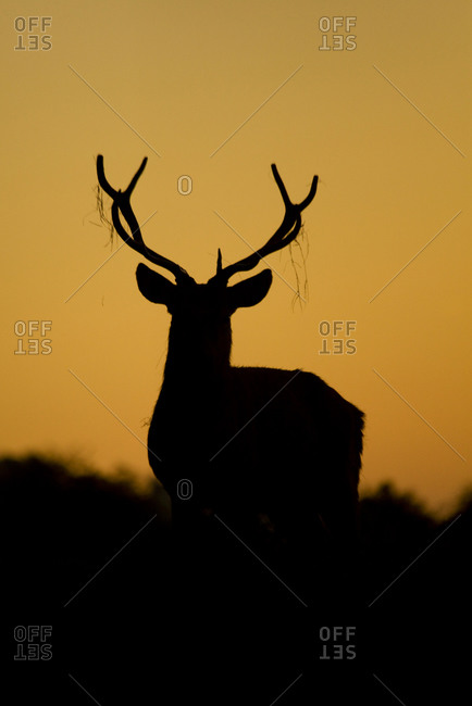 Silhouette of a stag