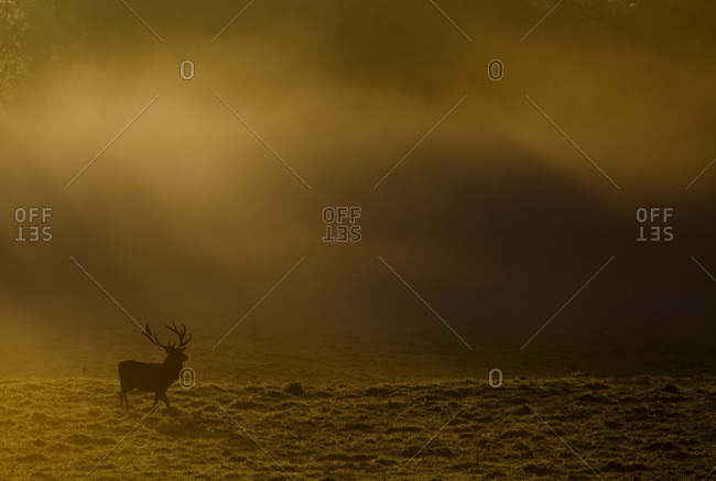 The silhouette of an adult stag cross a barren field