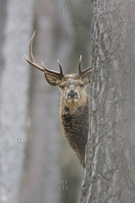 A stag peeking out from behind a tree