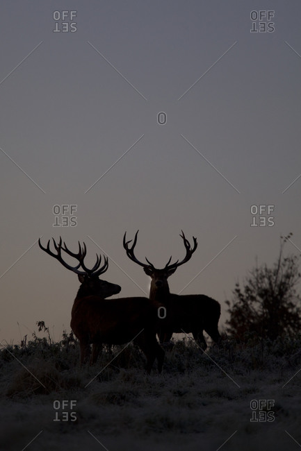 The silhouette of two stags
