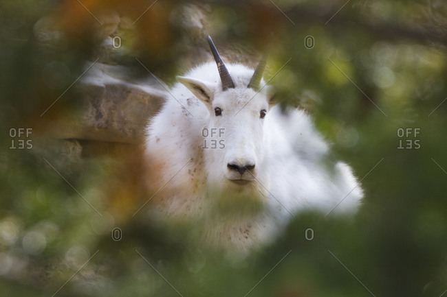 A mountain goat framed through a tree in the Big Belt Mountains of Montana.