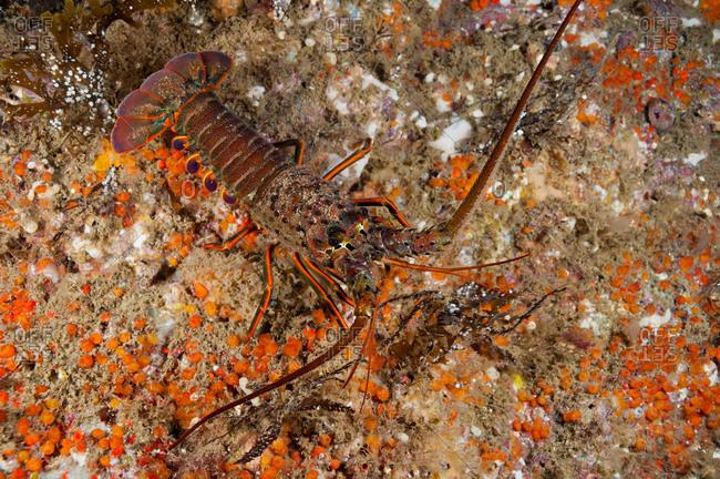 California Spiny Lobster (Panulirus interruptus)