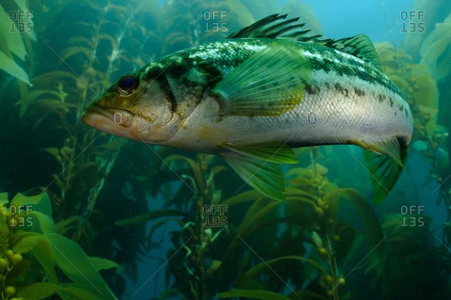 Kelp Bass (Paralabrax clathratus) swimming through Giant Kelp