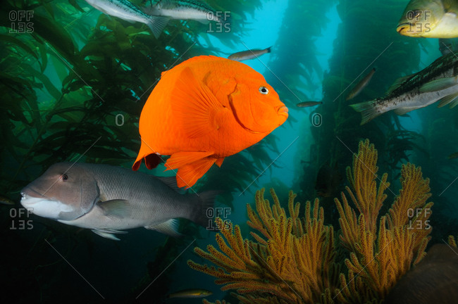 Garibaldi (Hypsypops rubicundus), Sheephead (Semicossyphus pulcher), and other fish overtop a Golden Gorgonian (Muricea californica) in the kelp forest