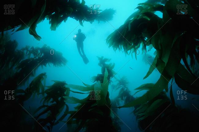 Scuba diver swims overtop forest of Giant Kelp (Macrocystis pyrifera)