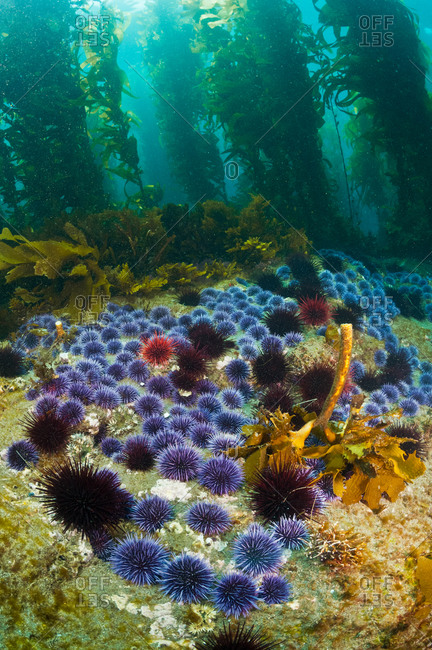 Red Sea Urchins (Stronglyocentrotus franciscanus) and Purple Sea Urchins (Stronglyocentrotus purpuratus) eating the bottom algae and Giant Kelp (Macrocystis pyrifera).