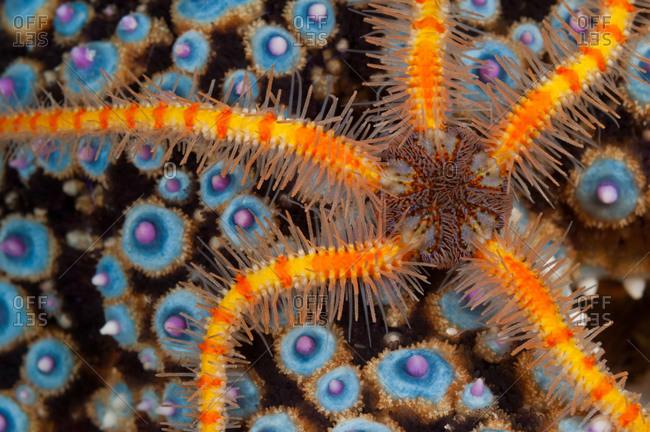 Spiny Brittle Star (Ophiothrix spiculata) crawls across Knobby Sea Star (Pisaster giganteus)