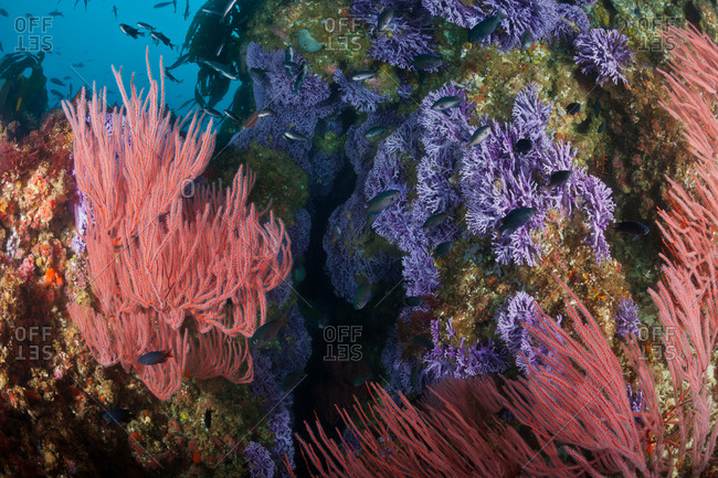 Reef covered with Red Gorgonians (Lophogorgia chilensis) and purple California Hydrocoral (Allopora californica)(aka Stylaster californicus)