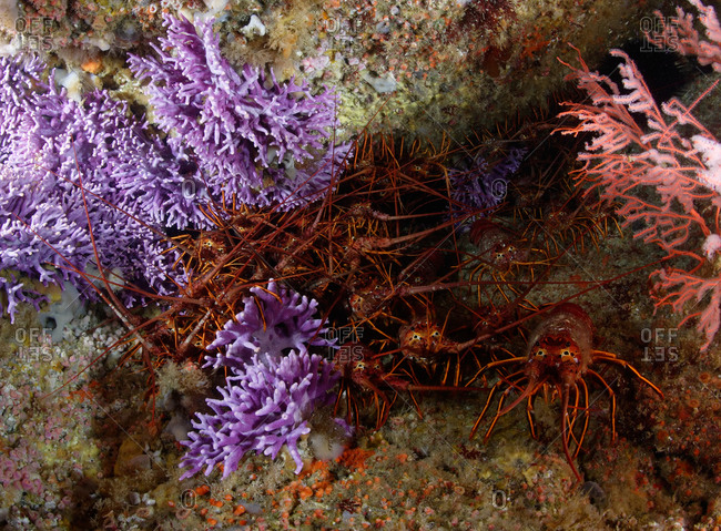 California Spiny Lobsters (Panulirus interruptus) in crevice bordered by California Hydrocoral (Allopora californica)(aka Stylaster californicus)