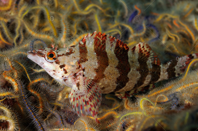 Painted Greenling (Oxylebius pictus) among Spiny Brittle Stars (Ophiothrix spiculata).