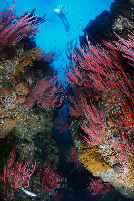 Red Gorgonians (Lophogorgia chilensis), Golden Gorgonians (Muricea californica), and scuba diver