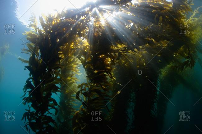 Giant Kelp (Macrocystis pyrifera), sunlight streaming through the canopy.