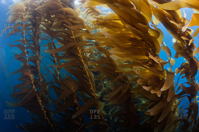 Giant Kelp (Macrocystis pyrifera), a macro brown algae which grows in thick stands providing habitat for many other species in a vibrant ecosystem
