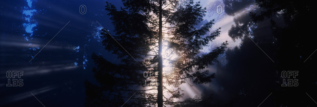 Silhouette of a tree at dusk, Redwood National Park, California, USA