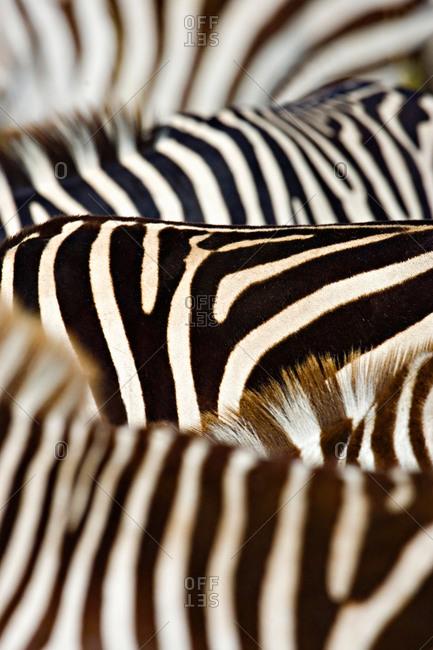 Close-up of stripes on Zebras, Masai Mara National Reserve, Kenya