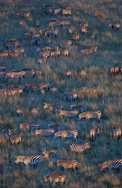 Herd of Zebras grazing, Masai Mara National Reserve, Kenya