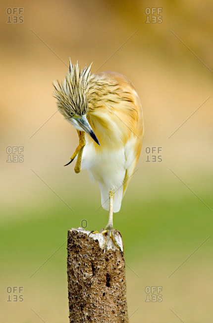 Close-up of a Squacco Heron (Ardeola Ralloides), Lake Baringo, Kenya