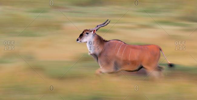 Side profile of an Eland (Taurotragus Oryx) running on a field, Masai Mara National Reserve, Kenya