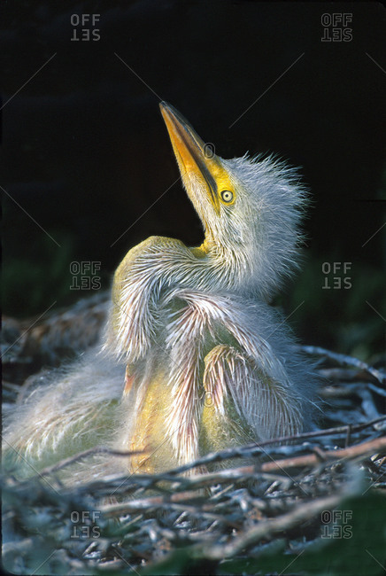 Close-up of a Great Egret (Ardea alba) chick, USA