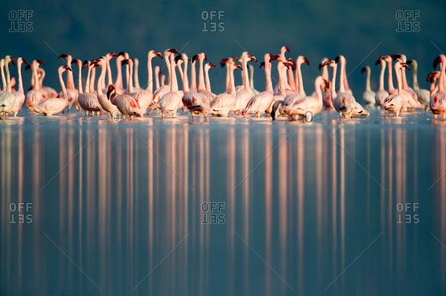 Lesser flamingos (Phoenicopterus minor) in a lake, Lake Nakuru, Lake Nakuru National Park, Kenya