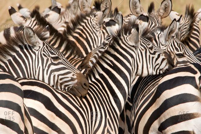 Burchell's zebras (Equus burchelli) in a forest, Tarangire National Park, Tanzania