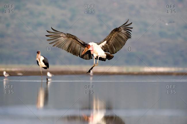Marabou stork (Leptoptilos crumeniferus) landing at a lake, Lake Nakuru, Lake Nakuru National Pa...