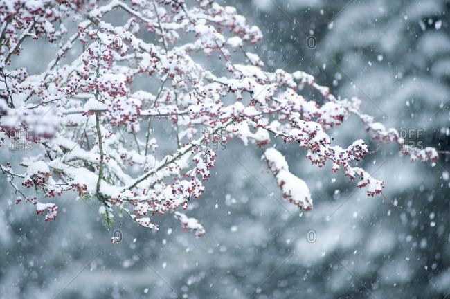 Snow covered branch during snowing, Washington State, USA