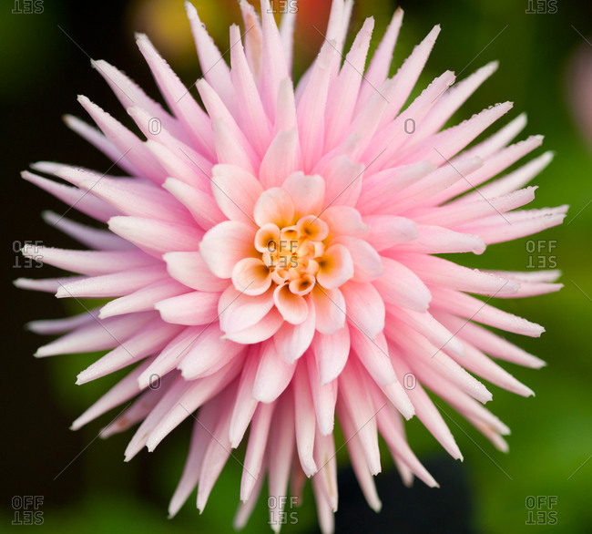 Close-up of a pink dahlia flower, Butchart Gardens, Victoria, Vancouver Island, British Columbia...