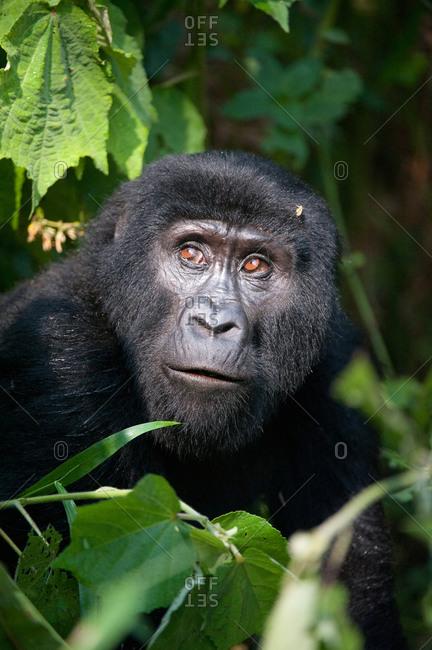 Close-up of a Mountain gorilla (Gorilla beringei beringei), Bwindi Impenetrable National Park