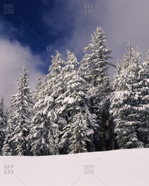 Snow covered western hemlock and fir trees on Munson Ridge, Crater Lake National Park, Oregon, USA