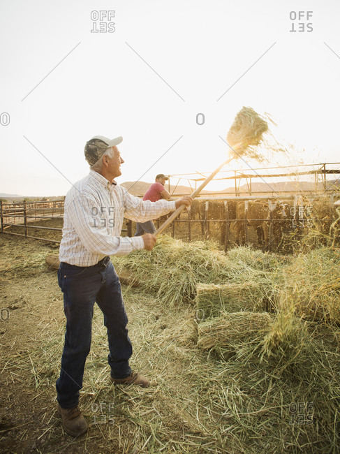 Farmers forking hay - Offset Collection