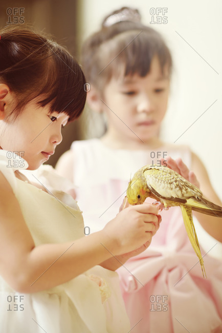 Cockatiel rest on girl's hand and eating
