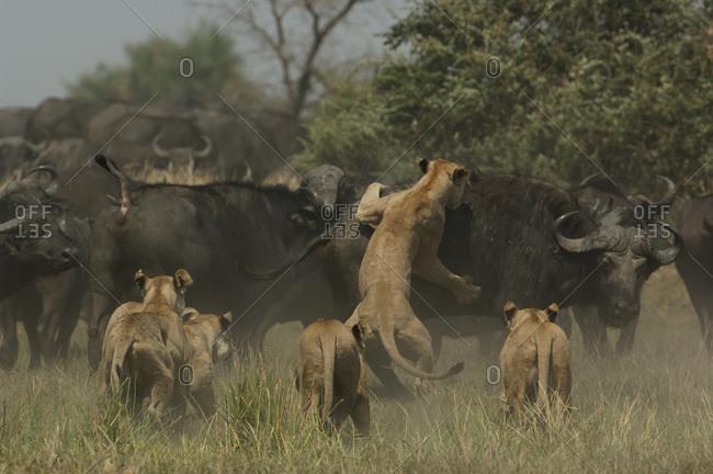 Lions (Panthera leo) hunting buffalo (Syncerus caffer)