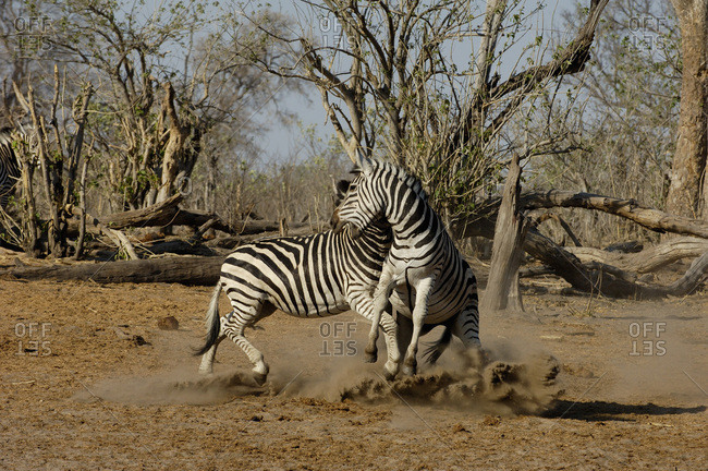 Burchell's zebra (Equus burchelli) large herbivore living in open plains. Males fighting Linyanti and Savuti areas. BOTSWANA. Southern Africa.