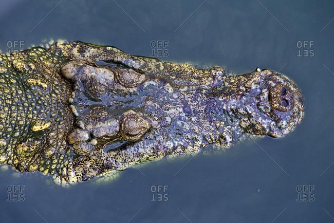 Overhead view of a crocodile head (Crocodilius-porosus) in the water