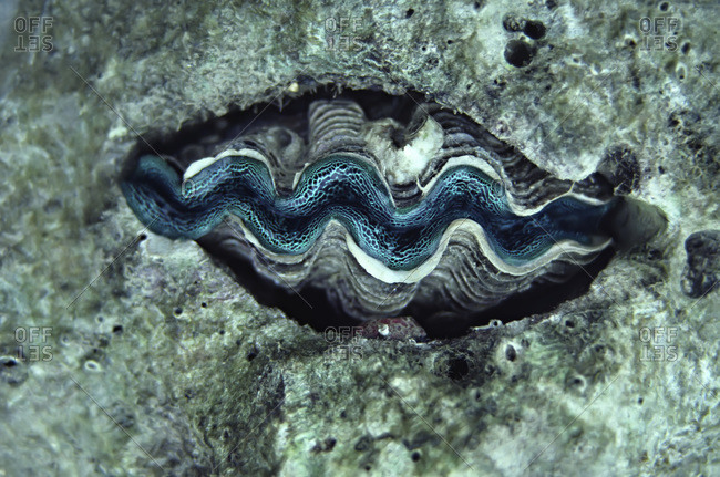 Green mantled clam on the Great Barrier Reef