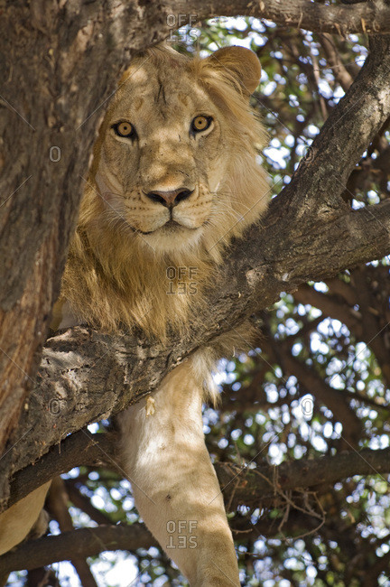 Lion relaxing in a tree
