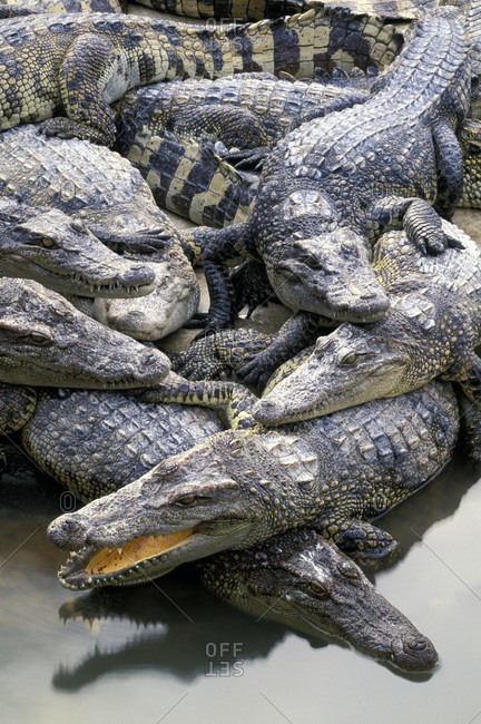 Group of crocodiles piled on top of one another