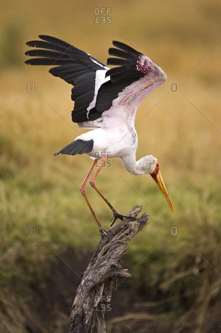 A Yellow-billed Stork getting ready for flight in the Maasai Mara Kenya