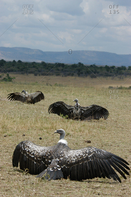 Three Ruppell's Griffon vultures (Gyps rueppellii) spreading their wings to dry