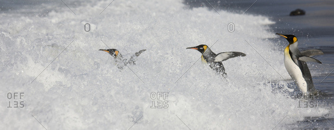 King penguins enter surf using follow-the-leader behavior common in many species of penguins