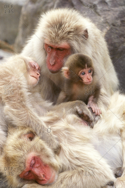 Snow Monkey Family (Macaca fuscata)