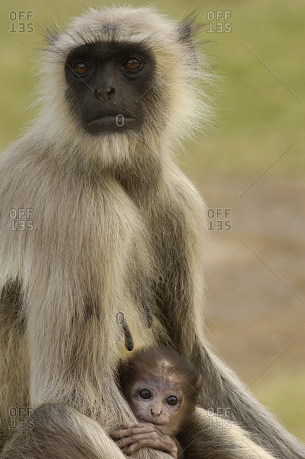 Mother Hanuman Langur sitting with child