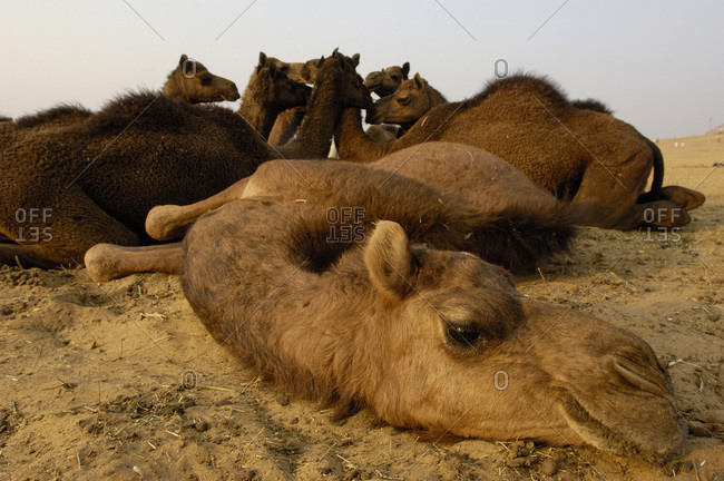 A One-humped Arabian Camel lying on the floor