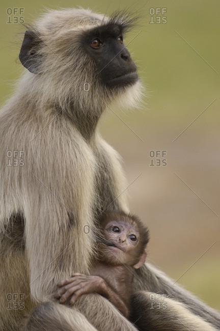Monkey breastfeeding